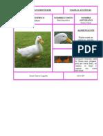 pato común