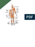 Musculatura Corpului Uman