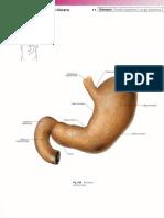 Gaster Anatomy