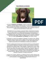 Cómo Adiestrar a un Labrador