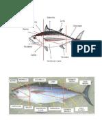 anatomia del pez oseo.docx