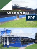 Exposicion de Gallinas Ponedoras