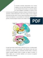 Los lóbulos frontales se encuentran conectados recíprocamente con las cortezas temporales.docx