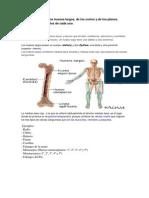 Características  de los huesos largos.docx