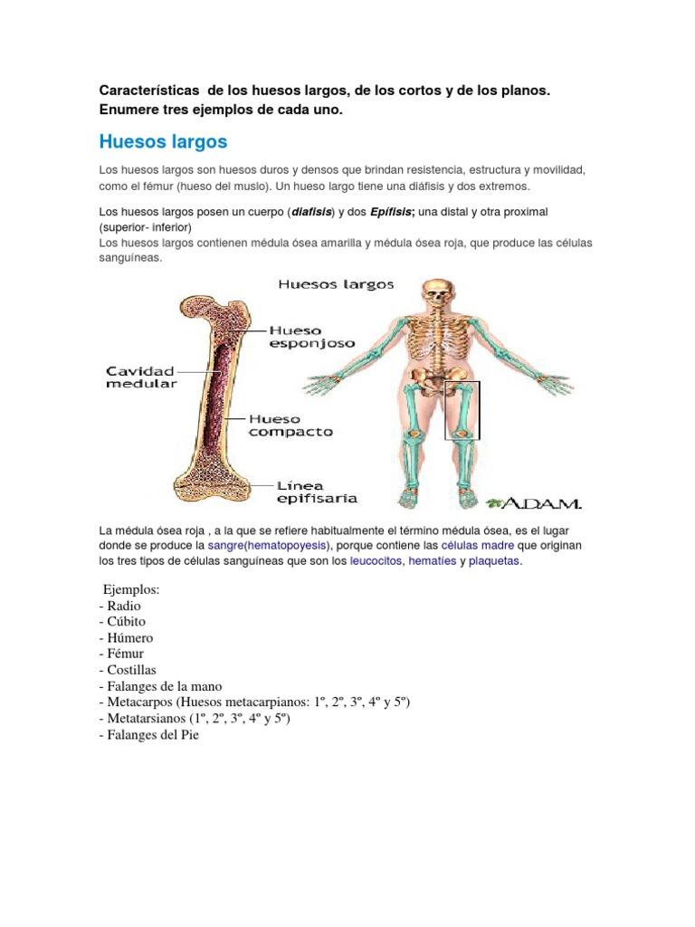 Moderno Donde Es El Hueso Húmero Colección - Imágenes de Anatomía ...