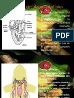 Sistema Circulatorio Anfibios