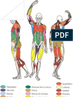 Principales Grupos Musculares