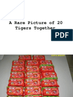 A Rare Picture of 20 Tigers Together