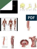 Anatomia (Muscoli)