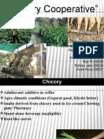 Chicory cooperative