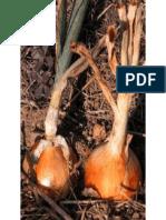 Como cultivar cebolas.pptx