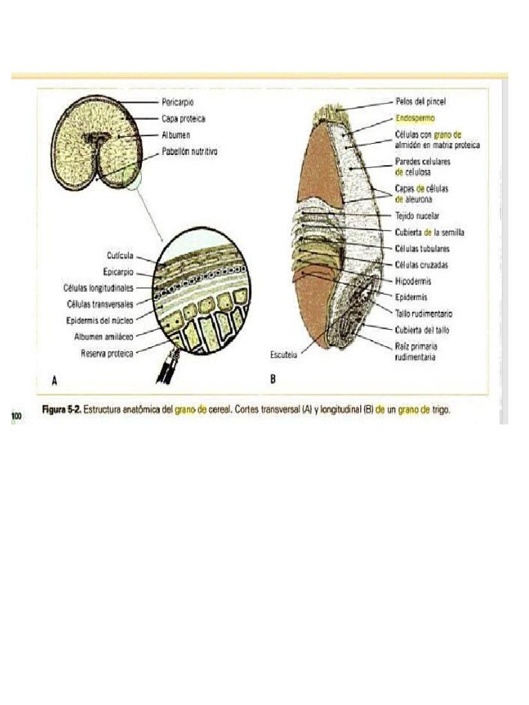 Morfologia4