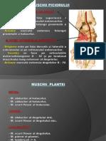 Muşchii Piciorului