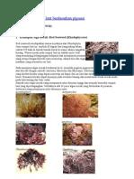 Jenis-Jenis Rumput Laut