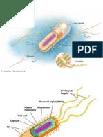 Celula procariota - Intestino.ppt