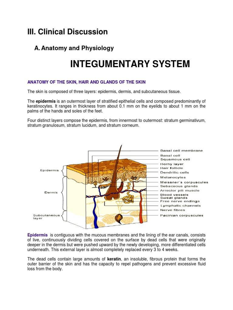 Anatomy Of The Integumentary System Skin Epidermis