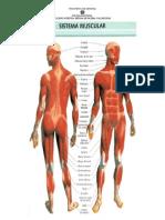 Partes+Sistema+Muscular