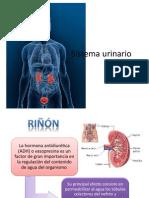 Sistema Urinario (2)