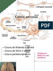 Células nerviosas 2010