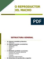 21. Sistema Reproductor Del Macho