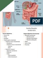 Anatomi systema digestiva
