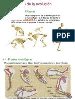 morfologia anamial