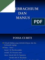 2. antebrachium