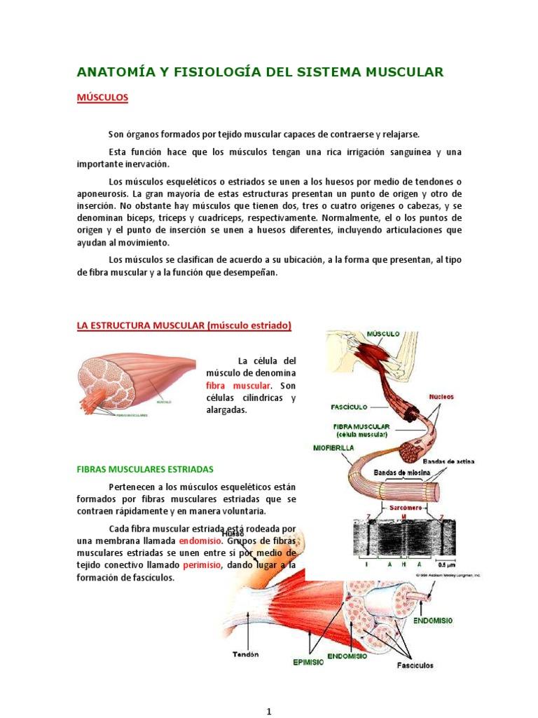 Vistoso Guía De La Anatomía Y La Fisiología Sistema Muscular Estudio ...