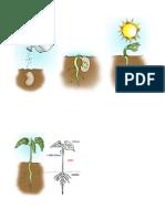 germinação da semente