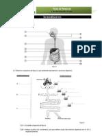 Ficha Trabalho 11-digestão.pdf
