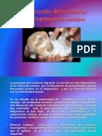 Obstrucción del conducto Nasolagrimal en conejos