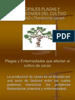 Plagas y Enfermedades Del Cacao
