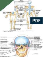L Minas Anatomia Esqueleto Axial