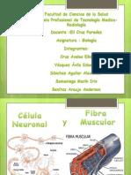 La Celula Neuronal y La Fibra Muscular