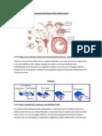 Esquema de Desarrollo Embrionario