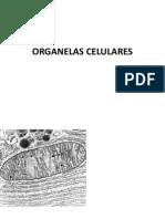 4. Organelas celulares