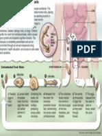 Schistosomiasis disease cycle