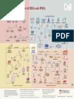 ESC & iPSC Differentiation Flowchart
