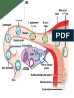 11 20-12-42Segmentarea Embrionului La Mamifere