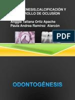 Odontogenesis, Calcificacion y Desarrollo de Oclusion
