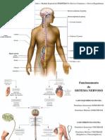 Sistema nervoso 2010 PP