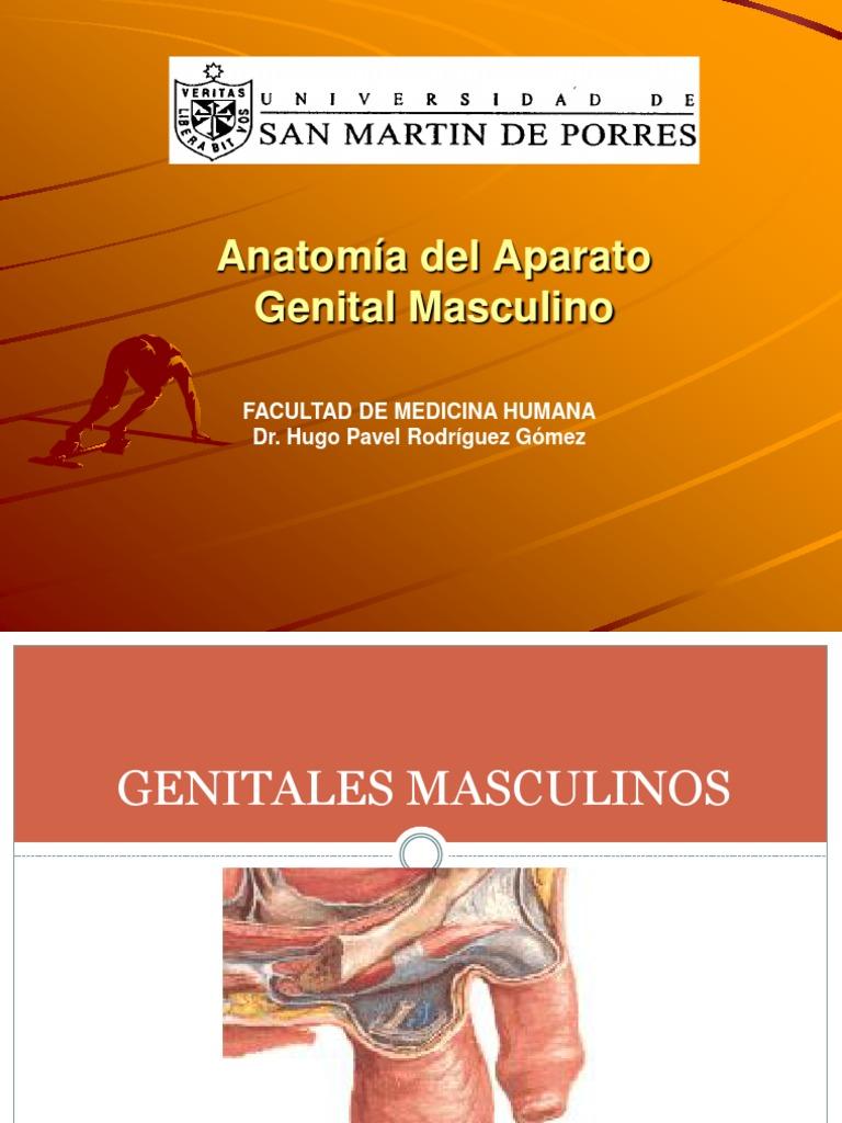 Anatomia Del Aparato Genital Masculino