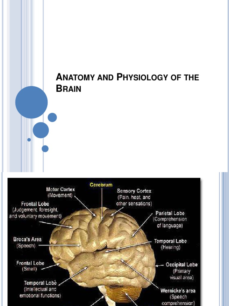 Anatomy and Physiology of the Brain | Stroke | Human Brain