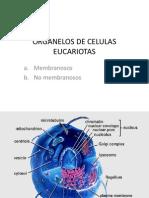 3._ORGANELOS_CELULARES