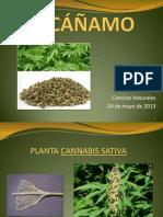 EL CÁÑAMO (2)