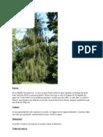 Le Coniferes Epicea