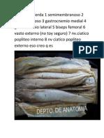 Pierna Izquierda 1 Semimembranoso 2 Semitendinoso 3 Gastrocnemio Medial 4 Gastrocnemio Lateral 5 Biseps Femoral 6 Vasto Externo