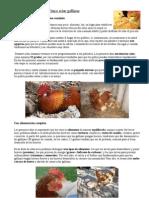Cómo criar gallinas