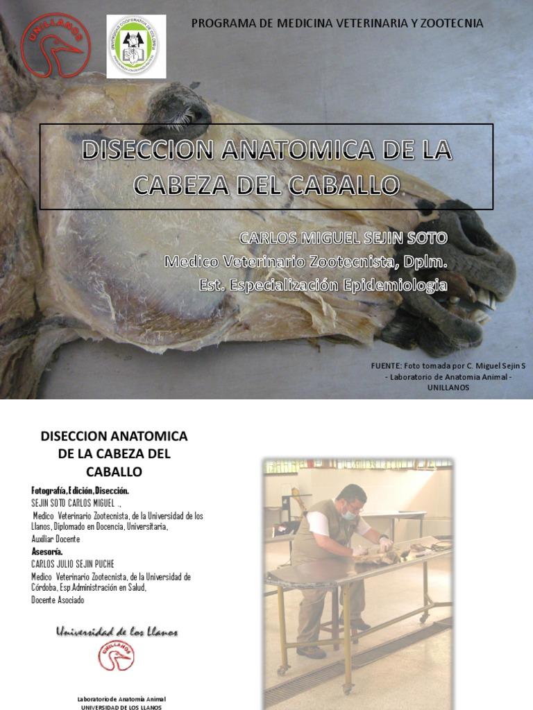 DISECCION ANATOMICA DE LA CABEZA DEL EQUINO (MUSCULOS Y OTROS ...