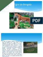 El Tigre de Bengala- Scarlett